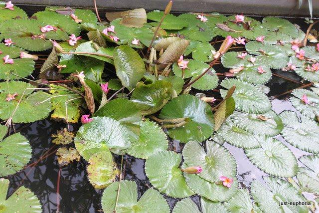 Lotust Pond