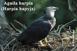 Nido de el Águila Harpía