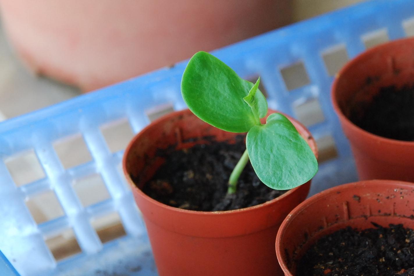 Clitoria ternatea  the third  fourth and fifthClitoria Ternatea Seed