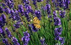 Foto farfalla su lavanda blu