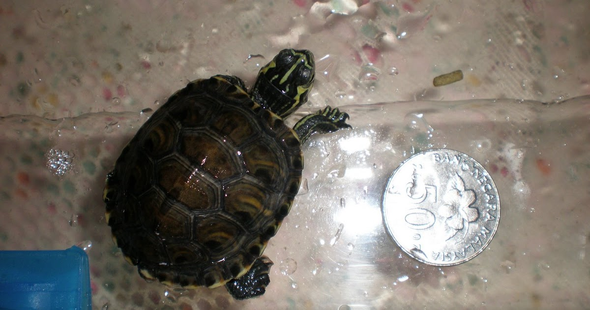 Y Wont My Turtle Eat Being as Turtles Mummy...