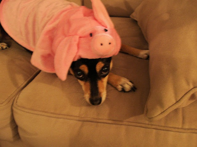 Cute dog in pig costume & Dogs Wearing Costumes - Cute Pictures of Dogs in Costumes: Cute dog ...