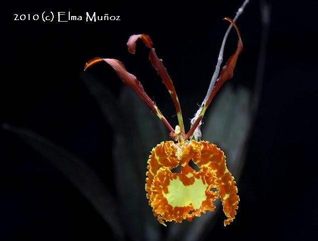 Psychopsis Papilio