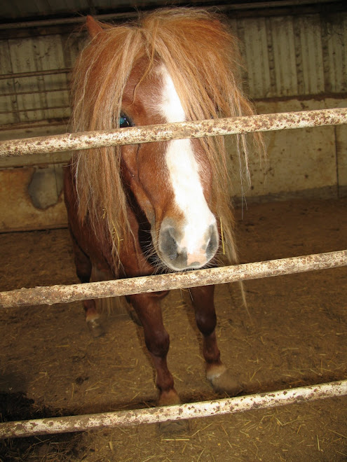 Miniture horse rescued by Safe Haven Equine Rescue