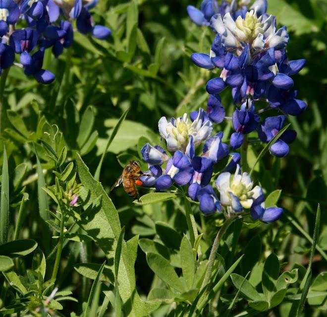 Bee in bluebonnets