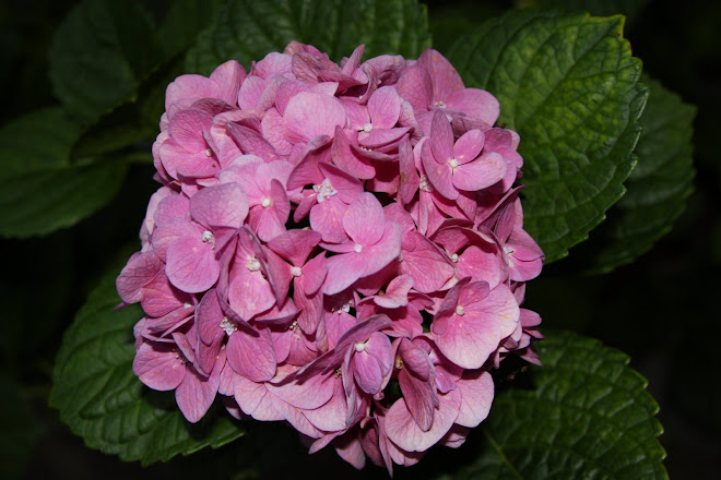 Pink flower in the dark