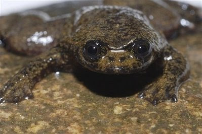 Oblate Spheroid: Lungless Frog Adaptation Reduces Buoyancy