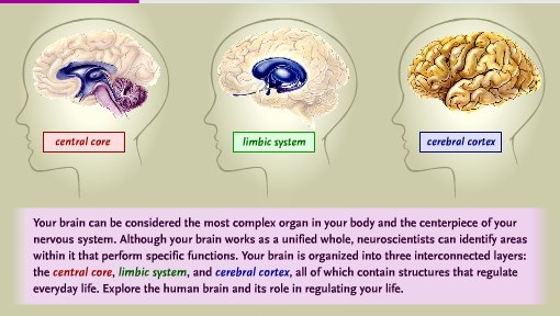an introduction to the three layers of the brain The brain an introduction to functional neuroanatomy book • 2010  there are only three layers, but in the neocortex, six layers are traditionally recognized.