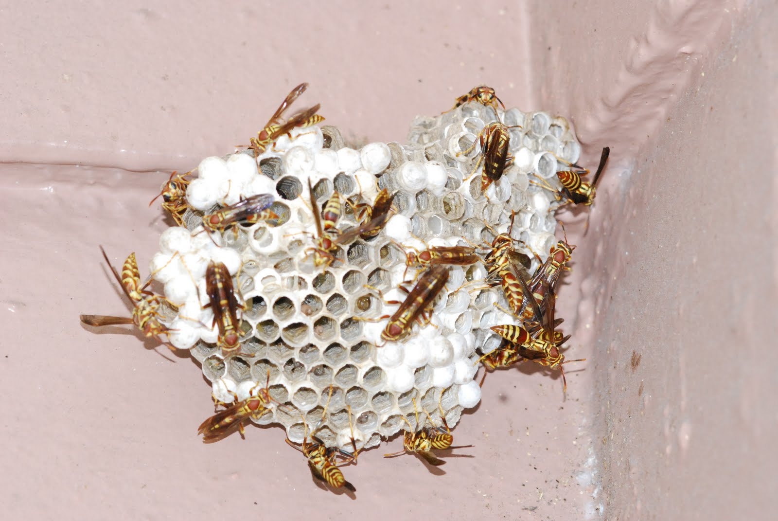 paper wasp nest removal Removing a wasp nest  items needed for safe removal of wasp nest  i have had paper wasp nests outside my doors for years with no problems.