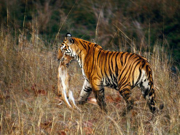 http://3.bp.blogspot.com/_NYttquK93yM/TQBTN6f5uQI/AAAAAAAAAvs/Idt-QIGJ56U/s1600/tiger-carting-off-kill-prey_20244_600x450+%25281%2529.jpg