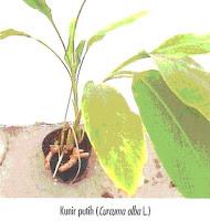 http://tipspetani.blogspot.com/2014/06/tanaman-obat-dari-kunir-putih.html
