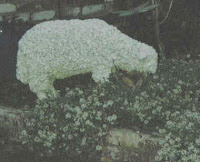 sheep grazing on Arroyo
