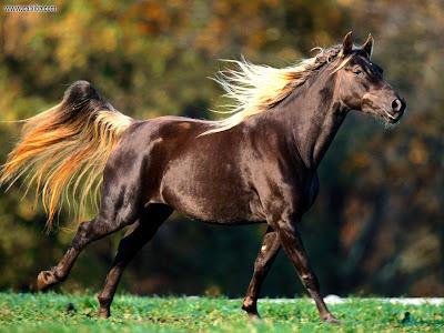 Noble Locks Rocky Mountain Horse Photo