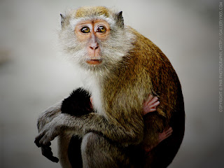 Animal Wallpaper Monkey
