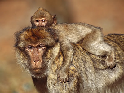 Yellow Baboon Wallpaper