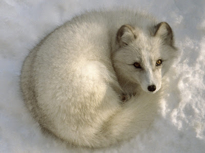 Arctic Fox Animal Wallpaper
