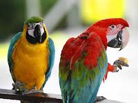Australian Parrots Pair