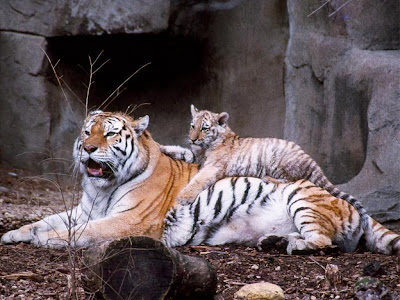 Tiger Cubs Picture