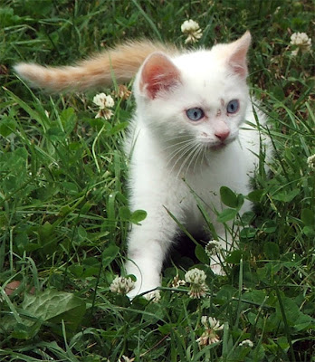 kitten cats Healthy White Breeds Cats Pics