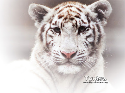 White Tigers Free Desktop Wallpaper