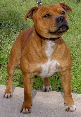 Staffordshire Bull Terrier Breeds Pics