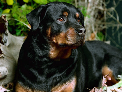 Rottweiler Dogs Desktop Wallpaper