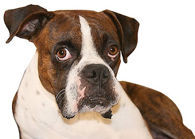 Boxer The Dogs Picture