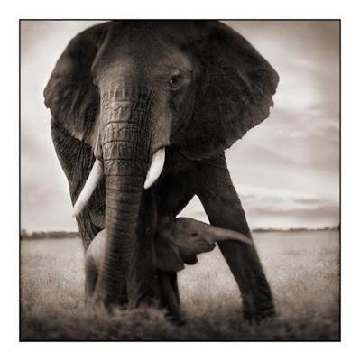 Elephant - Baby Elephant