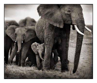 Elephants - Baby Elephant Photograph