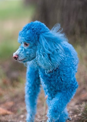 Cotton the Blue Toy Poodle Photo