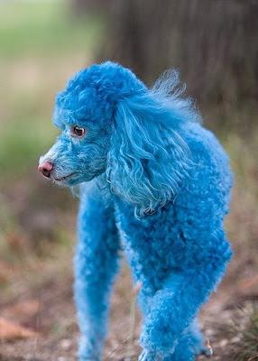Cotton the Blue Toy Poodle Photo