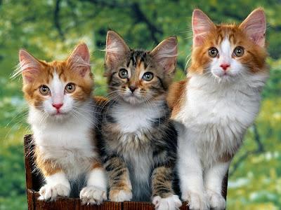 Animals Zoo Park - Cat Free Desktop Wallpaper