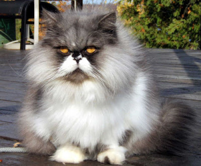 persian cats Black and White Pics