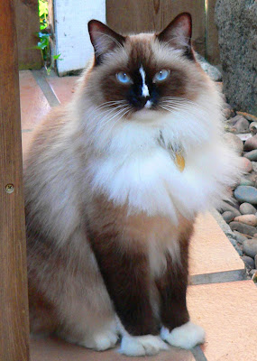 Cats Breeds - Ragdoll Cat Photo