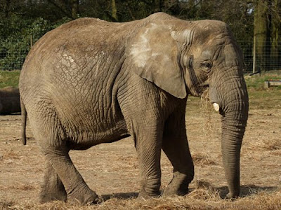 African Elephants Picture