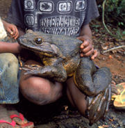 The goliath frog Photo