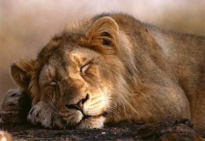 Sleeping Lion Photo