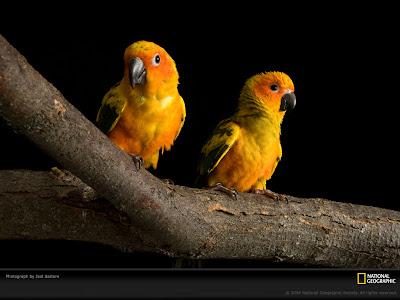 Sun Conures - Birds