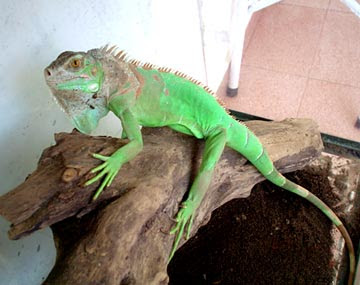 iguana Pet Image - Green