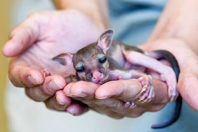 Baby Kangaroo Photograph Maybe