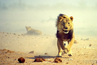 Fastest Running Animal Lion - 3