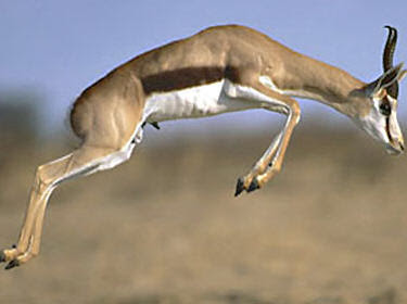 World Fastest Animal Springbok - 6