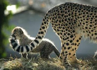 Cheetahs Cub Picture