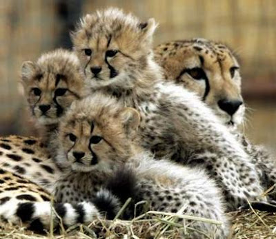 Cheetahs Cubs Photo