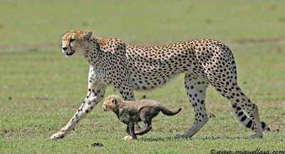 Cheetahs Cub Pics