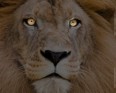 Lion Closeup Wallpaper