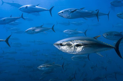 Bluefin Tuna - Animals