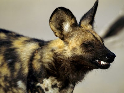 Snarling African Wild Dog Pics
