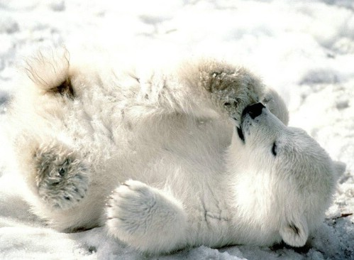 cute polar bear cub photo