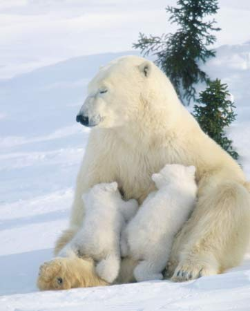 Polar Bear Cubs Picture